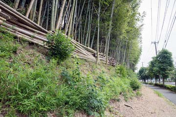 竹林、竹藪の伐採